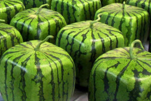 A Square Watermelon?